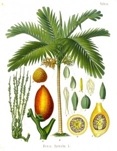 Areca nut palm illustrated in the 'Modern Herbal'  (1931)