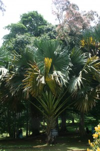 Talipot palm in the Royal Botanical Garden, Peradeniya