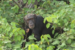 Beautiful Chimp in River Gambia National Park